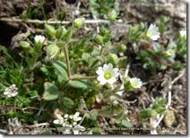 #130 CARYOPHYLLACEAE Cerastium ramosissimum(.)[.]_P1000552