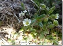 #132 CARYOPHYLLACEAE Cerastium ramosissimum(.)[.]_P1000554